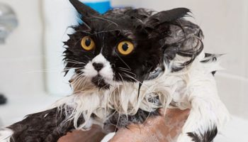 bathing-cat